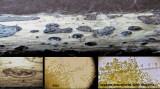 Diaporthe pardalota on dead Epilobium stem Hodsock Estate Apr-15 HW s.jpg