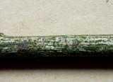 Diplodia melaena 2015-5-24 001 coelomycete on spindle twig Carlton Wood NNotts HW.jpg