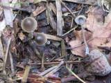 Mycena vulgaris 001 on buried cone Hodsock  Horse Pasture Wood Notts 2015-8-27.JPG