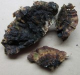 Ischnoderma resinosum 001 on old felled beech trunk Hannah Pk Wood Worksop Notts 2015-9-3 HW.JPG