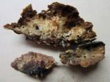 Ischnoderma resinosum 002 on beech hymenium Hannah Pk Wood Worksop Notts 2015-9-3 HW.JPG