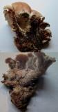 Lentinellus ursinus 1 on rotten log Rufford CP Notts 2015-9-30 HW.jpg
