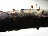 Gymnopus inodorus 001 Gamston Wood Notts 2015-10-14.jpg