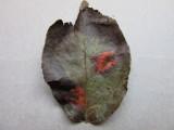 Gymnosporangium sabinae 001 Pear Rust leaf upper surface Hucknall allotment Notts 2015-10-10.jpg