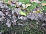 Coprinellus disseminatus 001 mature Daneshill Lakes Notts 2015-10-25.jpg
