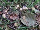 Naucoria escharioides 001 with alder Daneshill Lakesa Notts 2015-10-25.jpg