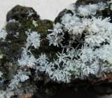 Ceratiomyxa fruticulosa Myxomycete on old stump Budby Meadowbank Notts 2015-11-4.jpg