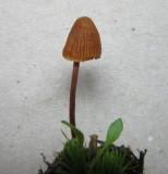 Galerina vittiformis 001 forma bispora mossy soil Spalford Warren NR Notts 2015-11-15.jpg