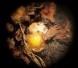 Sphaerobolus stellatus 002 charged fruitbody x20 2015-11-15.jpg