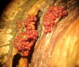Neonectria punicea 002 on dead att holly branch x20 Haywood Oaks Notts 2015-11-13.jpg