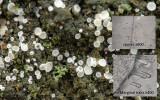 Lachnum impudicum on willow AttenboroughNR by TS and RR Dec-15.jpg