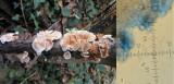 Crepidotus variabilis Carlton Wood NNotts 2015-11-29.jpg