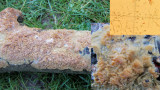 Radulomyces molaris on oak Carlton Wood NNotts 2015-12-20.jpg