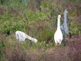 Jill's Guard-Geese