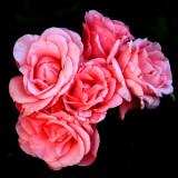 Five Roses at Dusk
