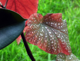 Rubber plant and begonia leaves