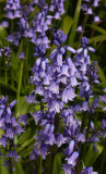 See my Bluebells ... hear them chime