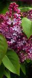 Lilac peeping
