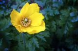 Yellow Poppy glows again