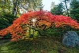Tiny Maple Sunburst.jpg