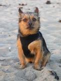 Leo on a misty cool evening at Huntington Dog Beach