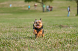 Leo enjoying the grass at Kenneth Hahn recreation park
