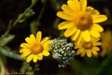 Fiore di cipolla con amici