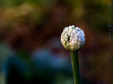 Onion flower floating on colors