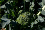 Orecchiette and broccoli coming