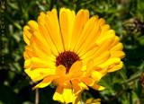 Calendula gialla