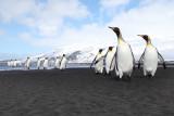 King Penguin - Heard Island _9956b.jpg