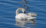 Swan on the St. Crouix