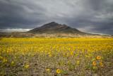 Wildflowers of the Mojave Desert