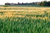 Swaying corn near Monteriggioni  14_d800_2132