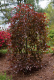 Weeping Red Beech