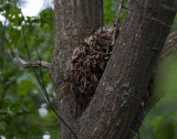 _MG_7566 Squirrel Nest