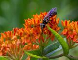 _MG_8440 Mud Dauber Wasp