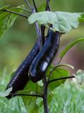_MG_8591 Ichiban Eggplants