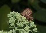 _MG_7630 Cicada Exoskeleton