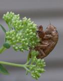 _MG_7627 Cicada Exoskeleton
