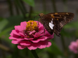 _8100060 Skipper on Zinnia