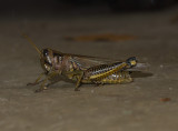 P9176781 Grasshopper Flash EPL1