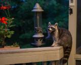 Persistent Raccoon