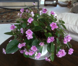 Happy Trailing African Violet