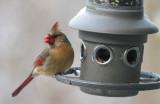 _MG_0112 Mrs Cardinal