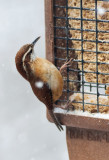 _MG_7780 Carolina Wren on Suet Feeder