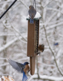_1110265 Busy Bluebirds