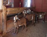 P3090005 Connemara Goat Barn