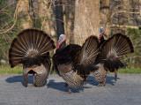 Turkeys in the Cul De Sac