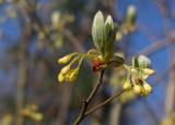 P4200235 Nestled Ladybird Beetle